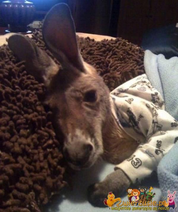 Kangur w piżamie
