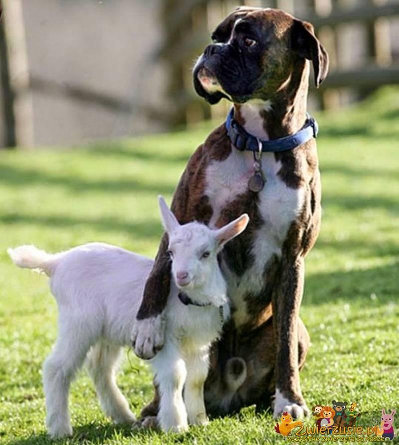 Bokser i mała koza