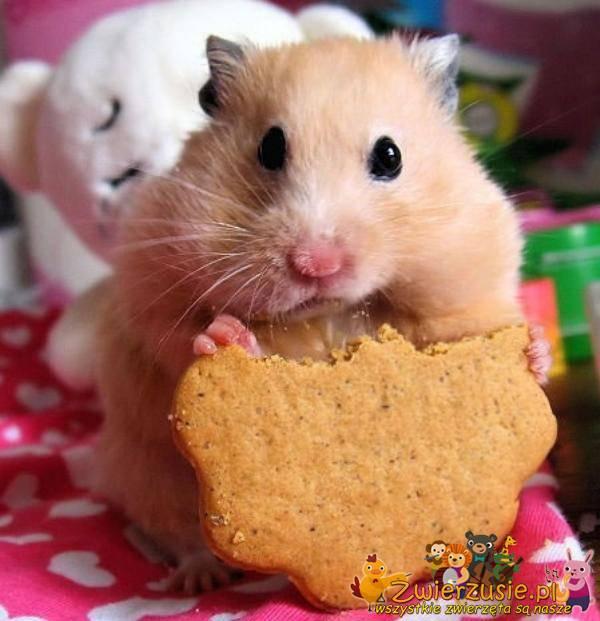 Chomik i ciasteczko